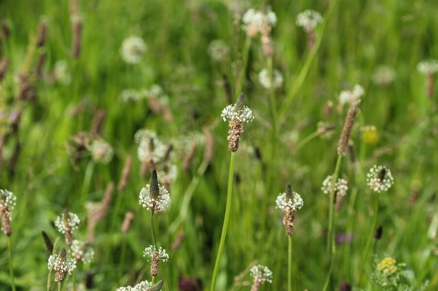 Łąka na której rośnie babka lancetowata. Zbliżenie na kwiatostany i kwiaty babki.