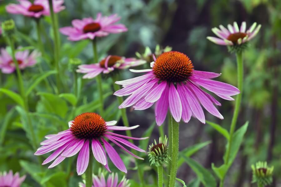 Kwiaty jeżówki purpurowej (Echinacea) w środowisku naturalnym.