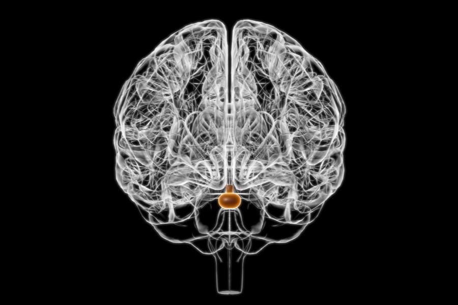 Grafika 3D przedstawiająca schemat ludzkiego mózgu, z wyróżnioną przysadką mózgową.